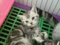 繁育美短标斑宝宝,已驱虫疫苗 美国短毛猫保健康