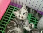 美国短毛猫 银虎斑宠物纯种猫 美短亲人和温顺生活