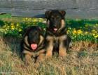 纯种出售纯种德国牧羊犬幼犬 健康终身保障 全国托运
