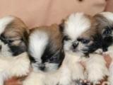 家养漂亮纯种西施犬宝宝一窝低价出售,上门六百一只
