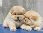 重庆哪里能买到纯种健康松狮幼犬重庆松狮价格松狮图片