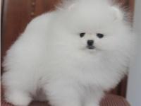 天津出售大量纯种博美犬,血统纯正,科学繁殖,疫苗齐全