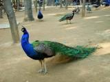 黄石养殖供应成年蓝孔雀 散养观赏孔雀