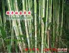台湾甜象草种节批发 赠送全套种植技术