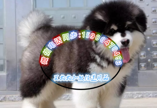 狗年特惠 大骨量精品阿拉斯加 全国包邮签协议售保送大礼包