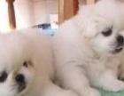 可爱的沙皮犬幼犬出售,聪明可爱