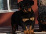 本地出售聪明懂事罗威纳 对主人忠诚 的护卫犬