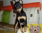 哪里出售机灵活泼的小鹿犬 最便宜的小鹿犬多少钱