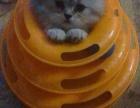 英短渐层,两个月大脸小萌猫