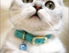 银川哪里有苏格兰折耳 高地折耳猫卖 疫苗已做保健康