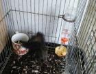 松鼠带笼子一起出售
