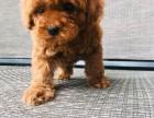 犬舍繁殖泰迪宝宝出售,急,价不高要的快来!
