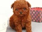 成都纯种泰迪幼犬出售茶杯泰迪4迷你泰迪迷你贵宾6长不大泰迪