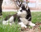 三火双蓝眼哈士奇幼犬黑白灰色二哈雪橇犬宠物狗狗