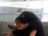 出售纯种健康罗威那幼犬 公母均有 价格美丽 支持随时上门看狗
