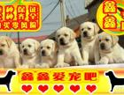 拉拉幼犬 最好品质 签订协议 来场可看狗父母