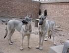 狼青犬幼犬多少钱 那里有卖的