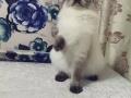 自家养布偶猫 512还剩一只小弟弟