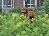 纯种的贵宾犬多少钱 宠物店的狗靠谱吗