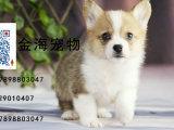 出售纯种柯基犬活泼可爱疫苗驱虫已做齐全包健康签协议