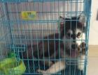 阿拉斯加犬(母)4个月大