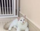 家庭式小型布偶猫舍