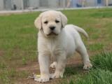 哪里有拉布拉多犬卖 家养拉布拉多价格 拉布拉多犬图片