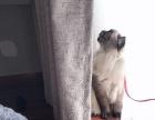 布偶猫有缘人