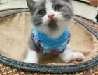 国外引进高端品种种母猫咪繁育 质量三包 可签订协议