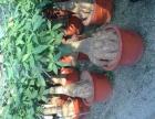 花木租售:园林绿化