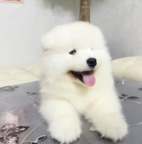 杭州出售微笑天使萨摩耶,纯种包健康签协议