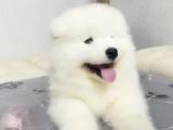 杭州出售微笑天使薩摩耶,純種包健康簽協議