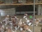 阳光鸽业出售喜鹊鸽,燕子鸽,毛领鸽,弯嘴大鼻子,短嘴两头乌等