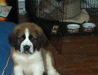 出售高大威猛圣伯纳幼犬 纯种健康 品相优良签订协议