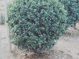 小区绿化种大叶黄杨球