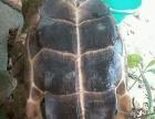 淡水池塘野生乌龟