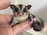 滑行宠物蜜袋鼯小飞鼠