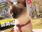 暹罗暹罗,猫中之狗特聪明