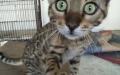 家养的豹猫,生的太多了,养不起了
