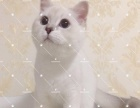 高品质繁育级银点公猫