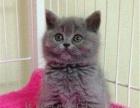 英短蓝猫,美短虎斑公母都有