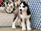 哈士奇幼犬是很正直的,小狗狗带有一点点调皮