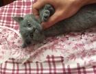 家养蓝猫出售