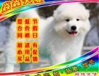 狗场繁殖绝对纯种绝对健康签协议保成活萨摩犬