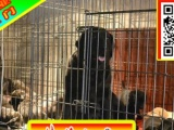 优惠中——狗狗用品任意选——纯种拉布拉多犬出售—签合同