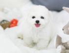 精品法国卷毛比熊幼犬健康质保终身上门签协议可送货