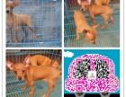 自家的小鹿犬出售丶精品包纯包健康丶可签协议
