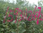 出售杜梨种子八棱海棠种子 杜梨苗皇冠苗八棱海棠苗苹果苗