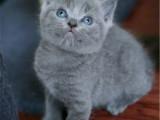 山西太原双血统蓝猫多少钱能买