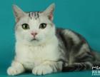 脸猫网出售2个月-布偶猫-MM